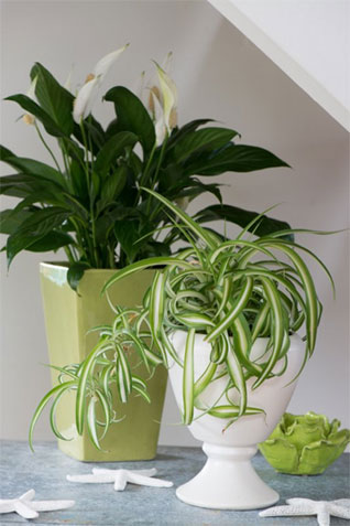 stylist lily house plant.  inside you ve always yearned to grow houseplants right Who doesn t want bask in the calming beauty of something green cohabitating your home Tovah Martin Horticulturalist author freelance writer PBS